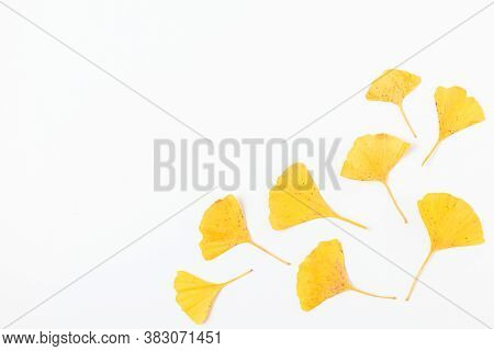 Yellow Autumn Leaves Of Gingko Biloba Isolated On White Background. Autumn Composition. Flat Lay. To