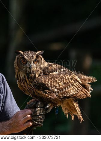 Eurasian Eagle-owl Resting On The Glove Of A Falconer, Large European Bird Of Prey Named Bubo Bubo