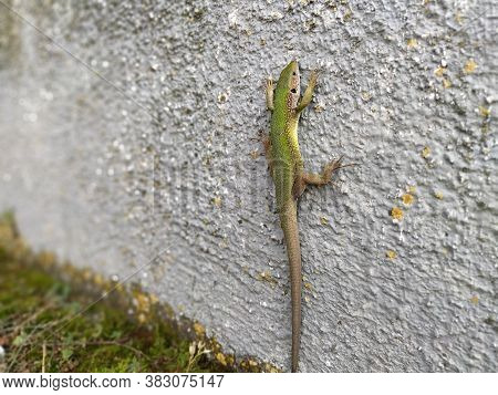 Green Beautiful Lizard Sits On The Wall And Poses, Looking At The Camera. Shimmering Multi-colored L