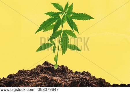 Young Medical Cannabis Plant Close In Coco Coir Soil Against Yellow Background