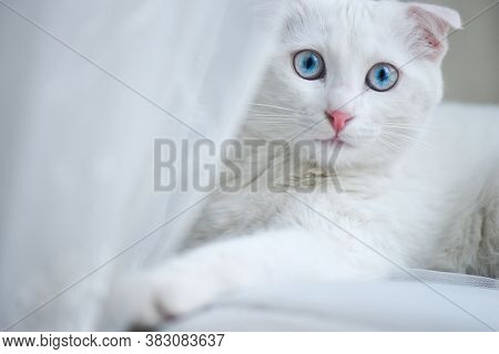 White kitten with blue eyes in natural window light