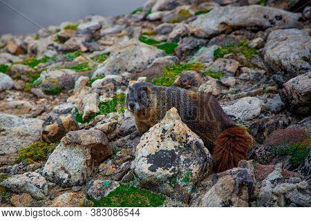 Yellow-bellied Marmot (marmota Flaviventris) On Mount Elbert In Sawatch Range, Colorado