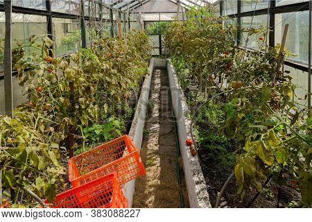 Tomatoes In A Greenhouse Get Sick With Late Blight. Phytophthora Infestans Is An Oomycete That Cause