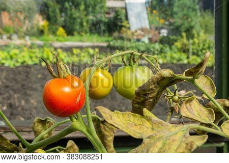 Tomatoes Suffer From Late Blight. Oomycete Has Been Found Near Tomatoes, Causing A Serious Tomato Di