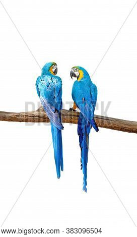 Closeup Two Blue And Gold Macaws Perched On Branch Isolated On White Background With Clipping Path