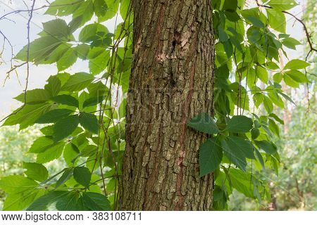 Stems Of Maiden Grapes With Green Leaves Twine Along The Deciduous Tree Trunk Close-up, Background
