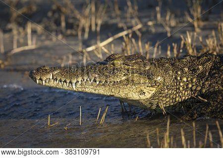 Nile Crocodile Walking Into Water In Chobe River In Botswana