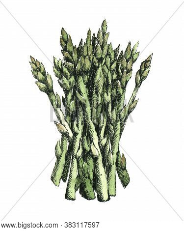 Hand-drawn Watercolor Image Of Asparagus. Jpeg Only
