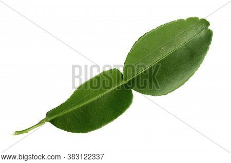 Kaffir Lime Leaves Isolated On A White Background With Clipping Paths For Graphic Design.spices Or T