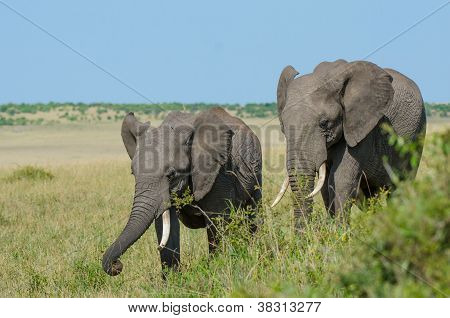 Two African Elephants