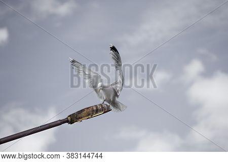 A Lesser Black-backed Gull Landed On A Broken City Lantern