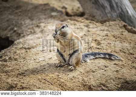 Ground Squirrel  Burrow In Loose Soil, Often Under Mesquite Trees And Creosote Bushes. Xerospermophi