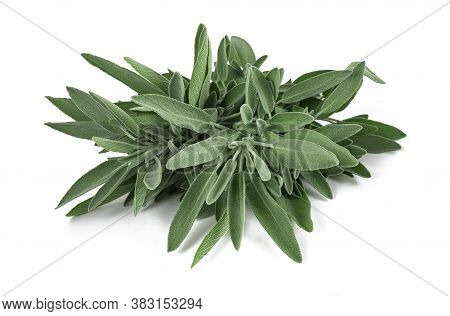 Sage Plants (salvia Officinalis) Isolated On White Background