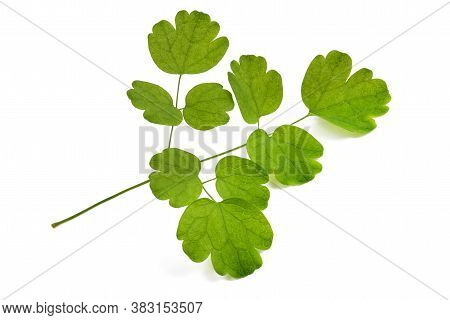 Columbine Meadow Rue Twig Isolated On White Background
