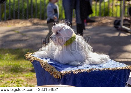 Acre, Israel, January 3, 2016 : White Lapdog At A Dog Festival - Competition In The City Of Ako In N
