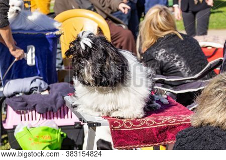 Acre, Israel, January 3, 2016 : A Dog With Its Owner At A Dog Festival - Competition In The City Of