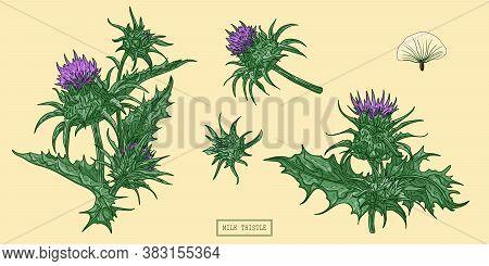 Pharmacy Milk Thistle Herb, Hand Drawn Botanical Illustration In Cartoon Style