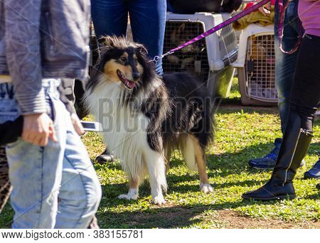 Acre, Israel, January 3, 2016 : Collie With Owners At A Dog Festival - Competition In The City Of Ak