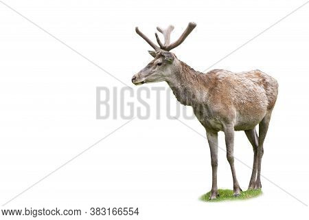 Adult Red Deer Stag Looking Aside In Spring Nature Isolated On White