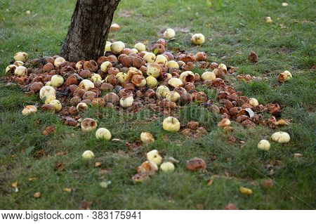 Rotten Apples Under The Tree On The Grass Harvesting Concept, Autumn. High Quality Photo