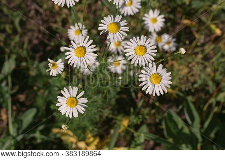 Chamomile Flowers On A Summer Day. Chamomile For Skin Care. Tea With Chamomile.