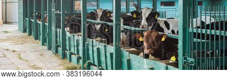 Herd Of Spotted Cows Near Manger In Cowshed On Dairy Farm, Panoramic Shot