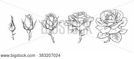 Rose Flowers Set. Stages Of Rose Blooming From Closed Bud To Fully Open Flower. Hand Drawn Sketch St