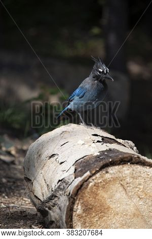 Stellers Jay Landed On Log In Pine Forest Of Colorado, Usa