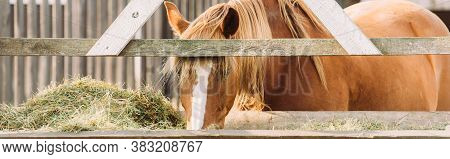 Horizontal Image Of Brown Horse With White Spot On Head Eating Hay From Manger