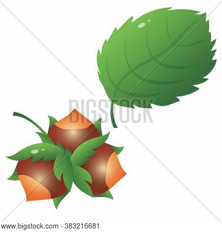 Color Image Of Hazel Leaf With Hazelnut Or Nuts On White Background. Plants And Trees. Vector Illust