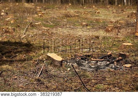 The Picture After Felling Is A Lot Of Stumps Of Coniferous Trees Remaining In The Ground. Stumps Aft