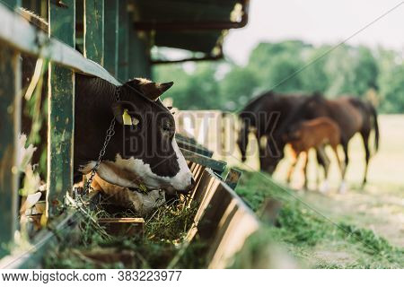 Selective Focus Of Black And White Spotted Cow Eating Hay From Manger In Cowshed