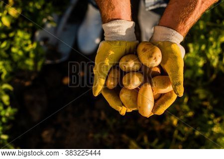 Top View Of Rancher Holding Fresh, Organic Potatoes In Cupped Hands, Selective Focus