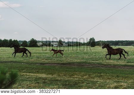 Side View Of Horses And Colt Galloping On Grassland
