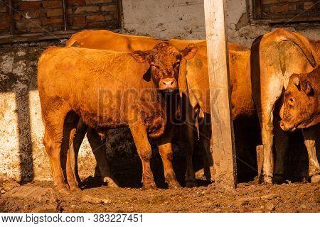 Limousine Bulls On A Farm. Limousine Bulls Spend Time On The Farm. Bulls