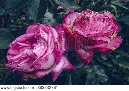 Beautiful Pair Of Vivid Pink Roses With Blemishes And Withered Parts And Dark Bluesh Green Leaves