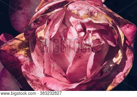 Macro Shot Of Beautiful Rose Head In Bloom With Blemishes And Withered Parts As A Concept Of Beauty