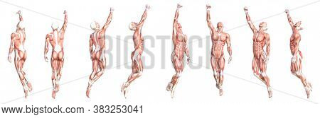 Conceptual anatomy healthy skinless human body muscle system set. Athletic young adult man posing for education, fitness sport, medicine isolated on white background. Biology science 3D illustration