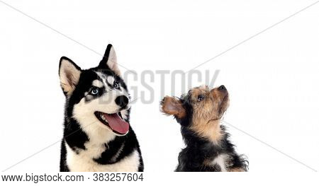 Two dogs of different sizes looking upwards isolated on a white background