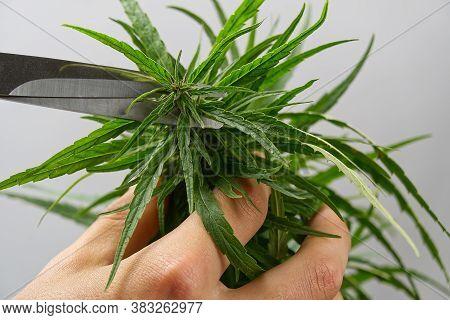 Scissors Trimming Marijuana Leaf From Cannabis Plant. Fresh Marijuana Plant Close-up. Cannabis Green