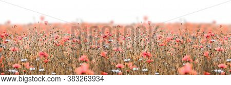 Poppy Field Panorama With Pink Poppies And Deep Sharpness
