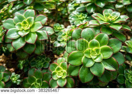 Many Landscaping Echeveria Agavoides Prolifera (carpet Echeveria) Vivid Green Succulent Plant With A