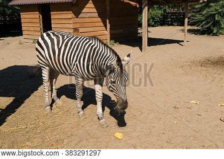 One Zebra Raised In Captivity Eating Grass And Vegetables