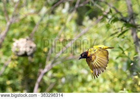 Male black-headed weaver bird, ploceus melanocephalus, in flight. The woven nest can be seen hanging from the tree in the background.