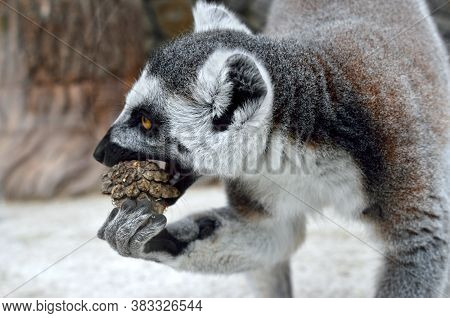 Ring-tailed Lemur In A Zoo Close Up