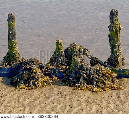 Bladderwrack (fucus Vesiculosus) In Wattenmeer In North Frisia,north Sea,schleswig-holstein,germany