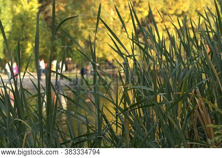 People Walk In The Autumn Park On A Warm Sunny Day. Lake In The Park. Tall Grass In The Foreground.