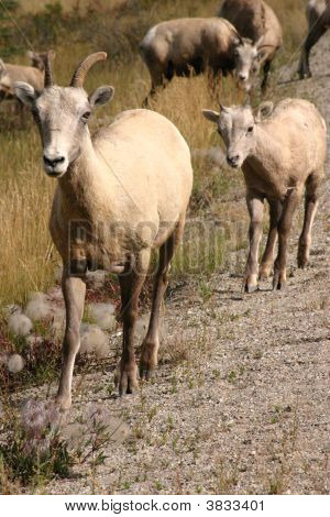 Front shot of a bighorn ram walking along the road on a sunny afternoon. poster