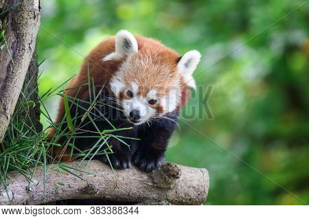 Red panda, also known as the lesser panda, firefox or cat-bear, in the branches of a tree, with green foliage background and space for text. This creature is indigenous to the Himalayas and China.