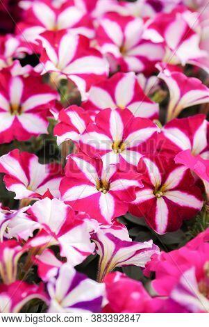 Pink Petunia, Petunias In The Black Pot, Pink Petunia On A Wood Shelf. Selective Focus.